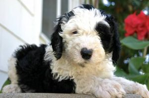 SHEEPADOODLE PUPPIES FOR SALE OHIO