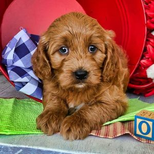 WHAT TO EXPECT WHEN CONTACTING A CAVAPOO BREEDER IN GEORGIA