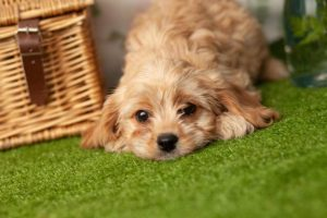 COMMON QUESTIONS ABOUT CAVAPOOS