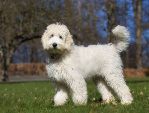 labradoodle puppies in new hampshire