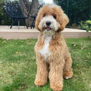 labradoodle temperament and personality