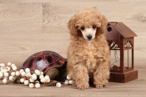 Poodle Puppies in Arizona