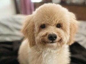 puppyspot poodles new jersey