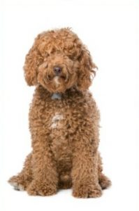 are labradoodles hypoallergenic dogs