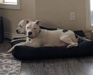 tear resistant Dog Bed for Pitbulls