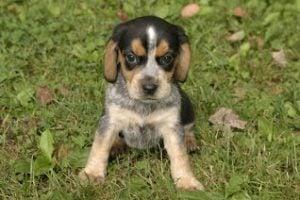 A'Z and J'Z Beagles