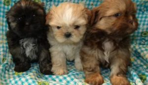 Annes Puppies