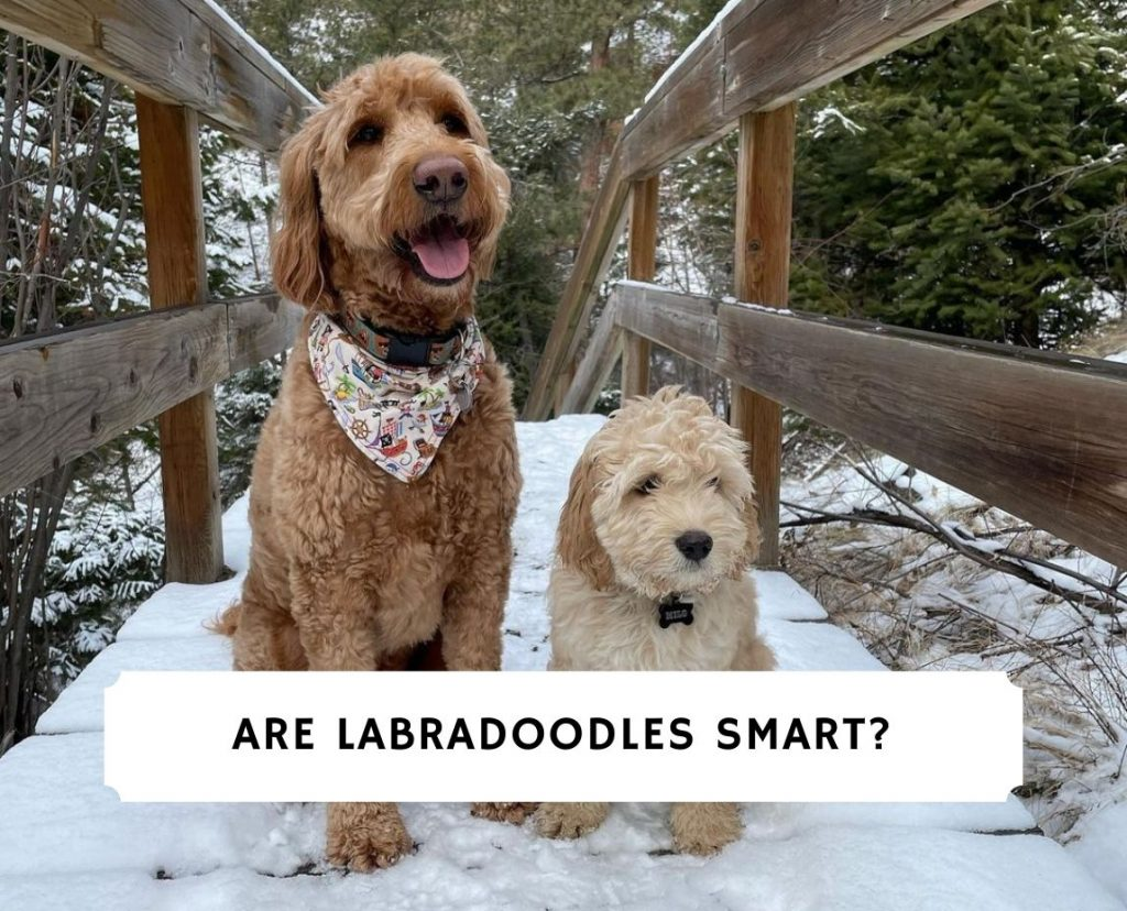 Are Labradoodles Smart