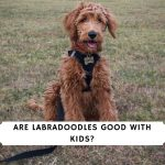Are Labradoodles good with kids_