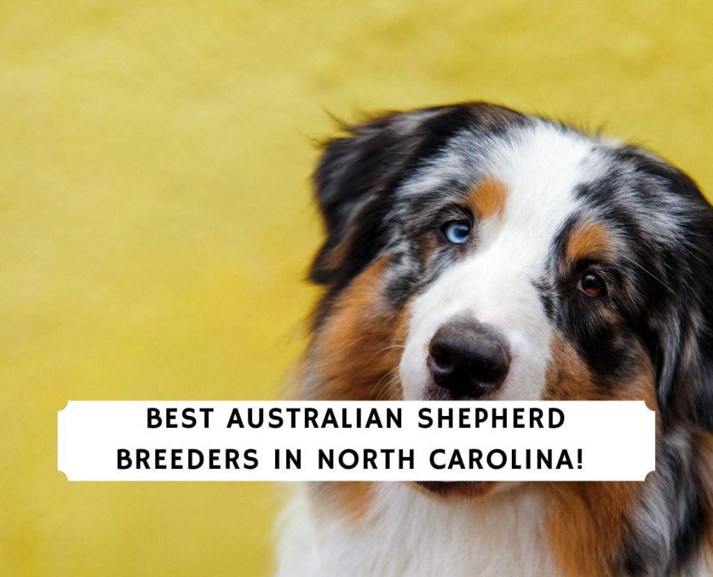 Australian Shepherd Breeders in North Carolina