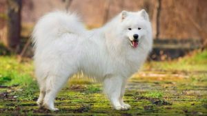 BEST SAMOYED DOG NAMES