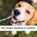 Beagle Breeders in Florida