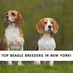Beagle Breeders in New York