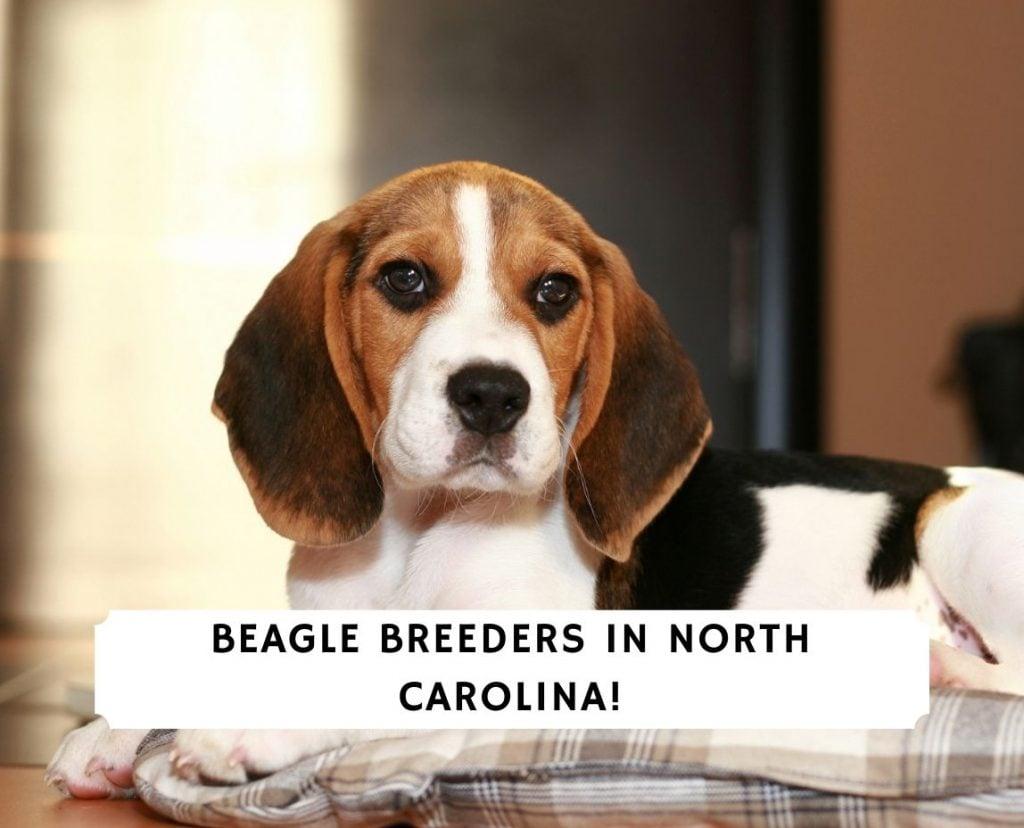 Beagle Breeders in North Carolina