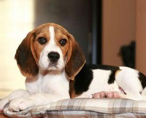 Beagle puppies in North Carolina