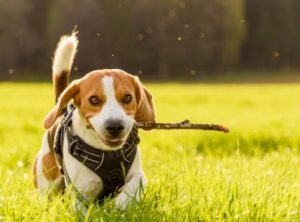 Beagles For Sale In New York