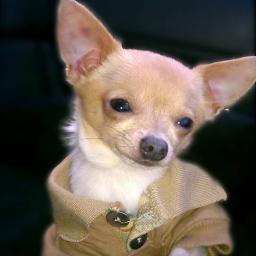 Bella's Little Angels Chihuahua Breeders