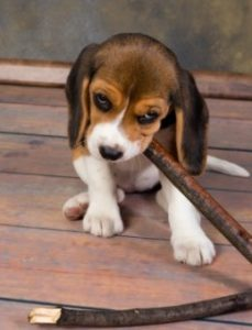 Best Beagle puppies for sale In New York