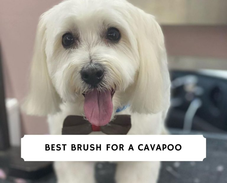 Best Brush for a Cavapoo