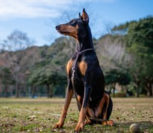 Doberman puppies for sale in Florida