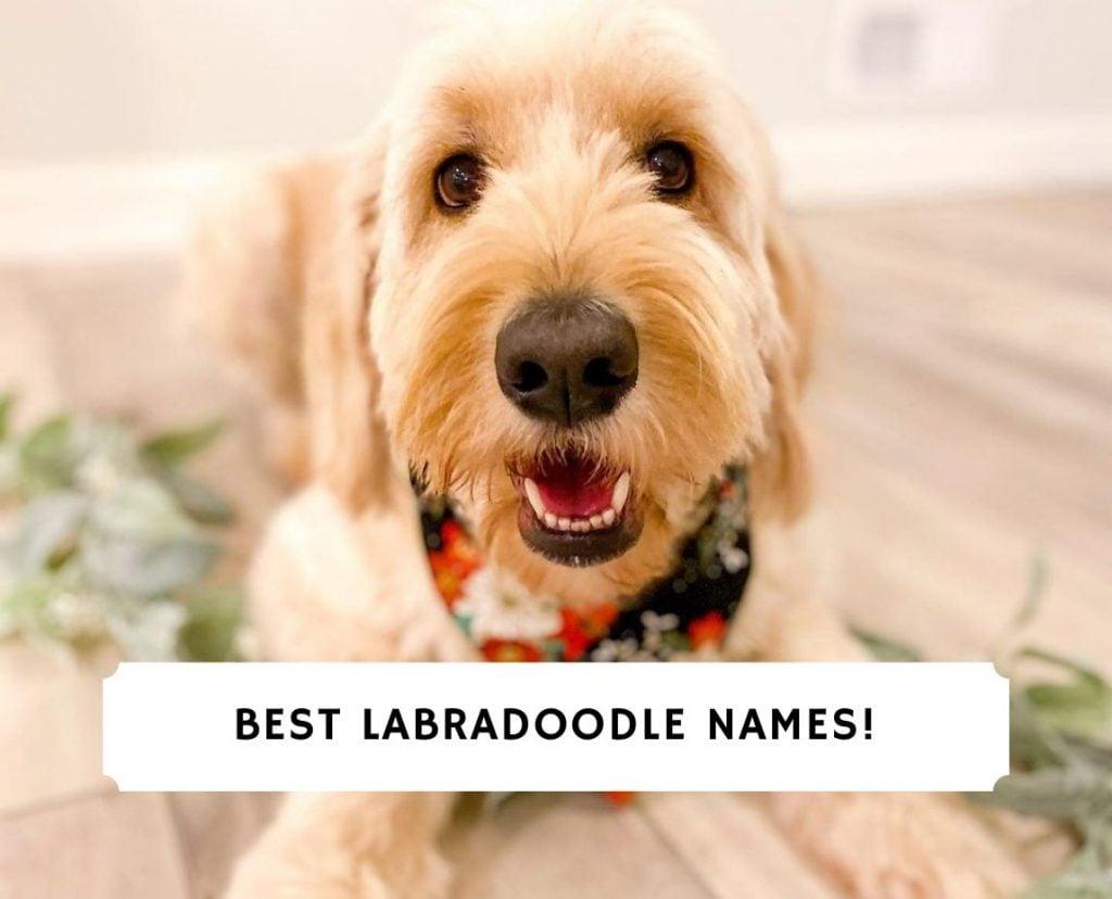 Best Labradoodle Names
