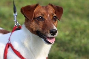 Best Male Jack Russell terrier name