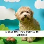 Best Maltipoo Puppies in Virginia