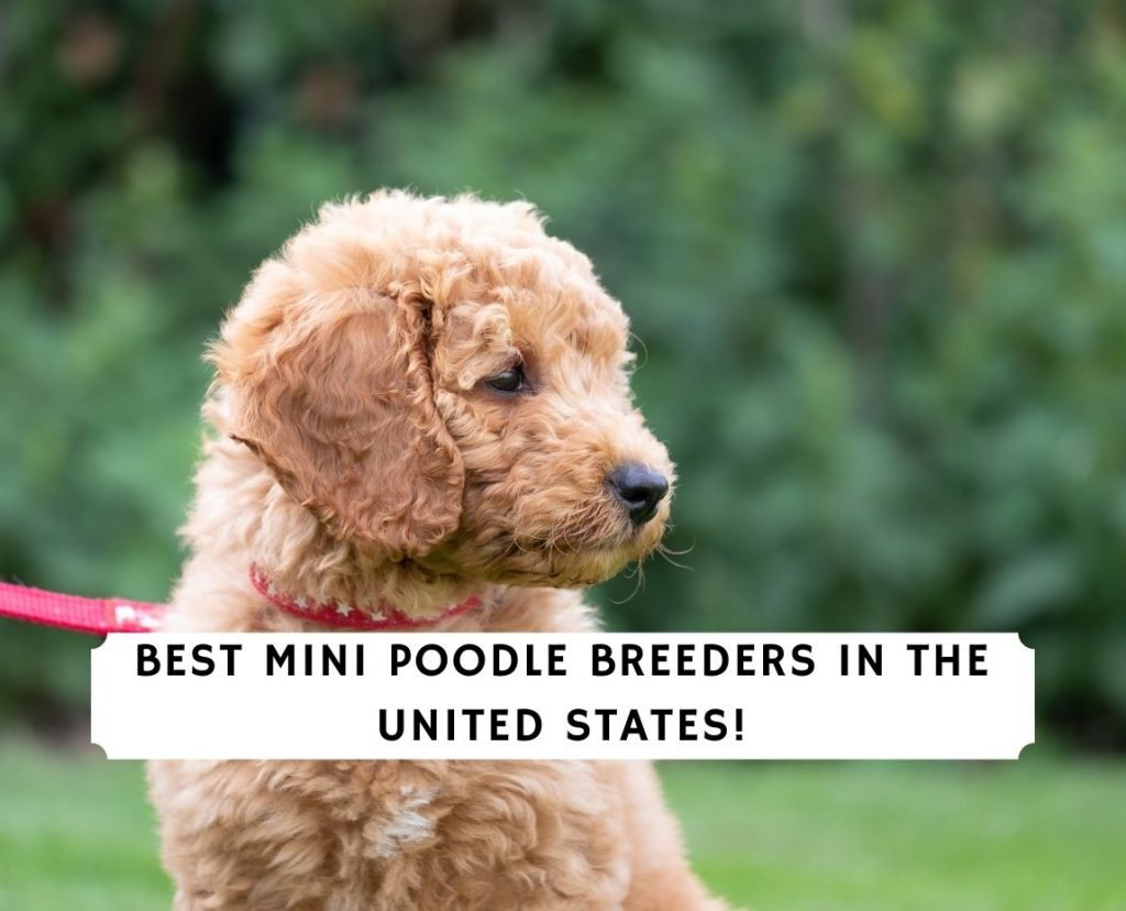 Best Mini Poodle Breeders in the US
