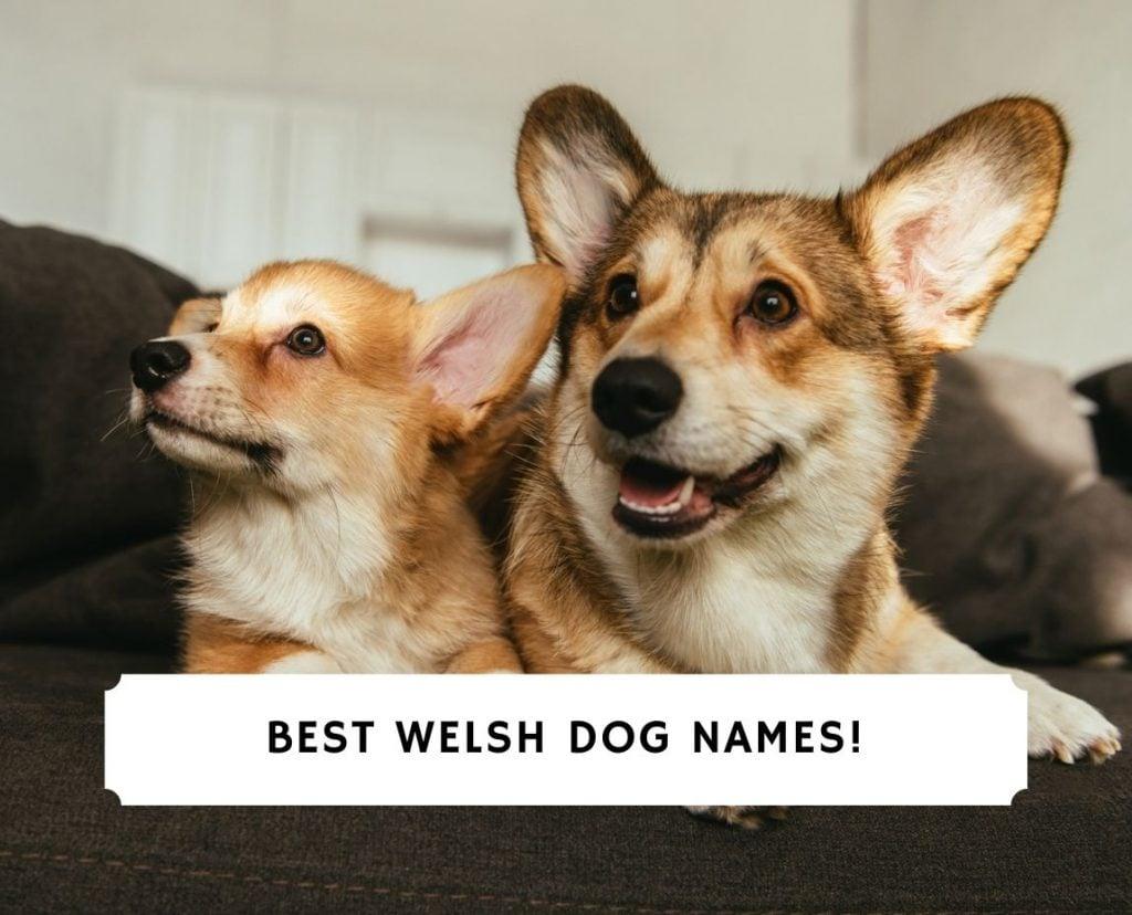 Best Welsh Dog Names