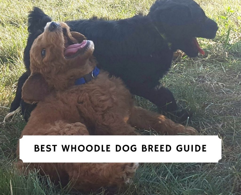 Best Whoodle Dog Breed Guide