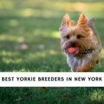 Yorkie Breeders in New York