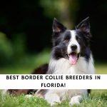Border Collie Breeders in Florida