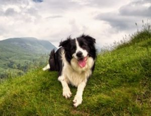 Border Collie Breeders in Florida
