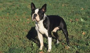 What Makes Boston Terriers Special?