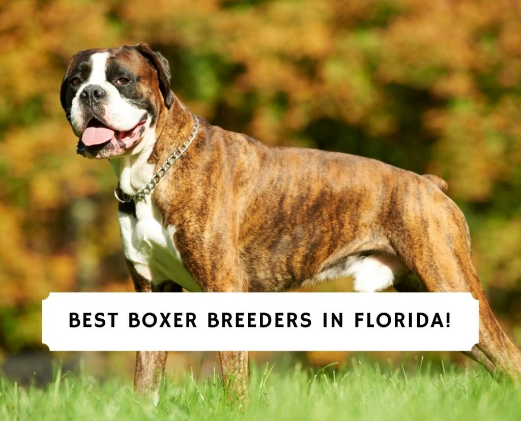 Boxer Breeders in Florida