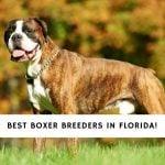 Boxer Breeders in Florida