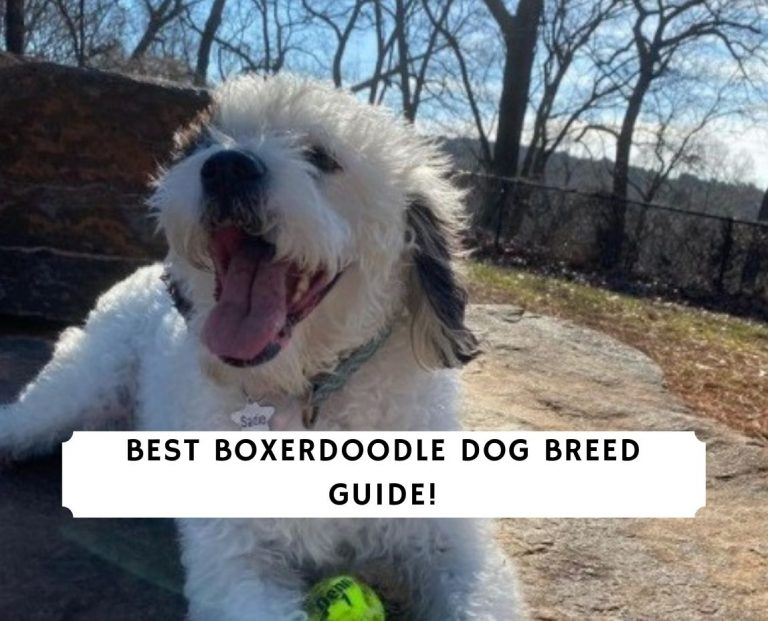 Boxerdoodle Dog Breed Guide