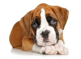 More Information About Boxer Puppies in Florida