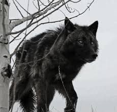 How to Choose a Black Wolf Dog Name