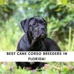 Cane Corso Breeders in Florida