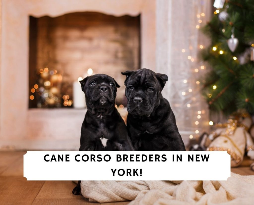 Cane Corso Breeders in New York