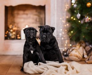 Cane Corso puppies in New York