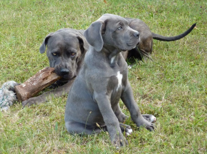 More Information About cane Corso Puppies in New York