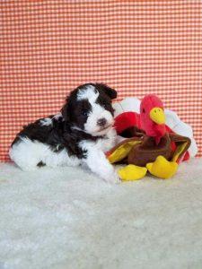 Carolina Mountain Toy Poodles