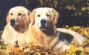 Carriage Hill Goldens