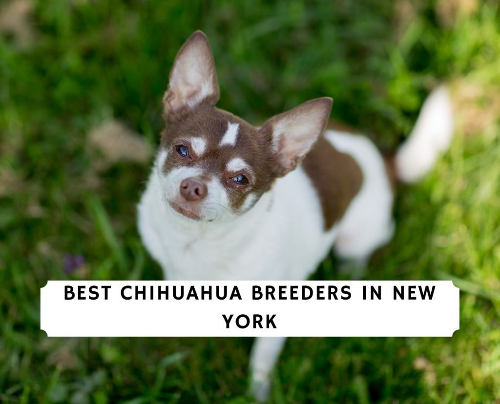 Chihuahua Breeders in New York