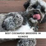 Cockapoo Breeders in Illinois