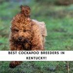 Cockapoo Breeders in Kentucky