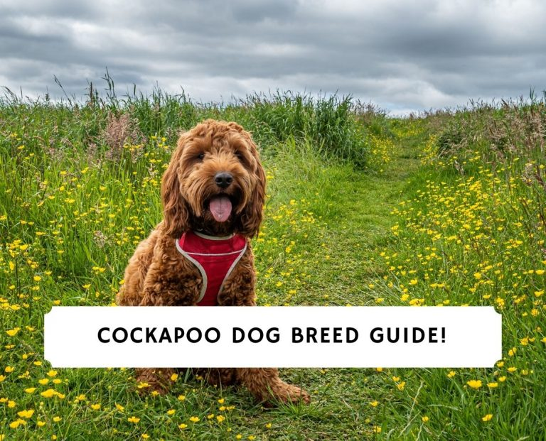 Cockapoo Dog Breed Guide