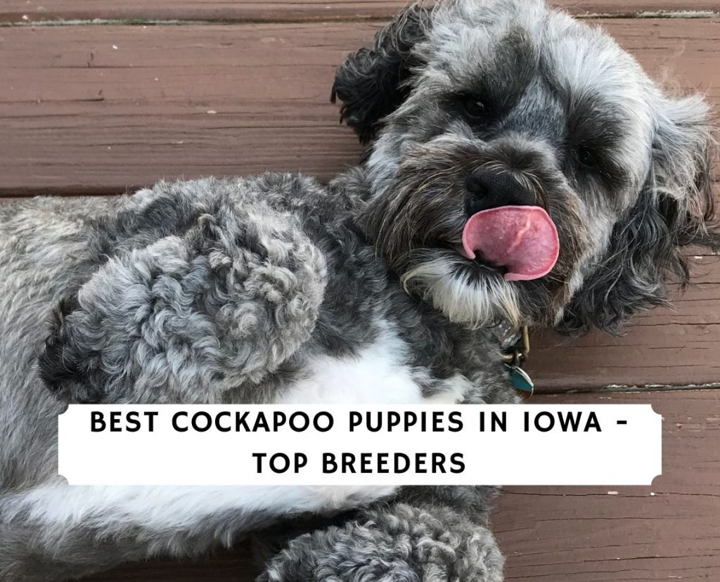 Cockapoo Puppies In Iowa